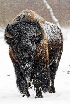 American Bison  by johndykstraphotography on Flickr.