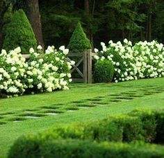 cone shaped hydrangeas, grass, boxwood
