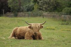 (by Tony Tooth) Scottish Highland Cow, Highland Cattle, Scottish Highlands, Tooth, Scotland, Hair Cuts, Landscape, Sweet, Animals