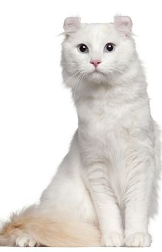 Soft Kitty- American Curl. The only breed with ears that curl backward.