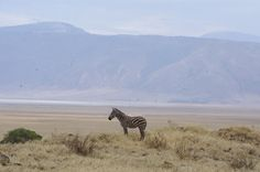 Zebra in Ngorongoro crater, Tanzania.  A lone zebra standing proud in an awesome landscape