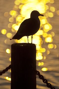Gull at Sundown