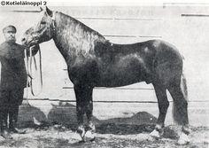 Finnhorse stallion Lahja, born in 1891.
