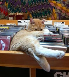 Meet Mickey Roy, a ginger cat, who took on an important job at a record store, Love Garden Sounds, in Lawrence, Kansas. This ginger feline has quite the way of running the biz. Mickey Roy in his usual spot as he surpurrvises the daily operation of the store, keeping everything in order.  Mickey uses...