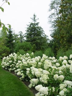 Limelight hydrangeas.  I have 4 of these 8' tall x 8' hight beauties on their way!!!