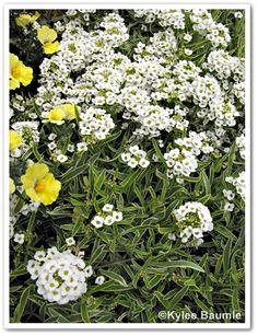 Frosty Knight™ Lobularia has variegated foliage (new for 2013)