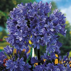 GenusAgapanthus  Variety'Storm Cloud'  Zone7 - 10  Bloom SeasonEarly/Late Summer  Habit: Mound-shaped  Plant Height: 24 in  Plant Width: 24 in - 3 ft  Additional Characteristics: Bloom First Year,Butterfly Lovers,Easy Care Plants,Free Bloomer---  Bloom Color: Dark Blue  Foliage ColorDark Green  Light Requirements: Full Sun,Part Shade  Moisture Requirements: Moist, well-drained  Resistance: Heat Tolerant,Humidity Tolerant  Soil Tolerance: Normal, loamy