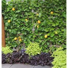 Espalier plants are excellent in narrow garden beds, or can be used as feature plants to screen areas. Trimmed to a narrow, bushy shape they can give a beautiful formal appearnce to your garden. Edible Plants, Edible Garden, Garden Trellis, Garden Beds, Vege Garden Ideas, Espalier Fruit Trees, Citrus Garden, Citrus Trees, Lime Trees