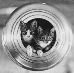 Kittens on the HMS Hawkins, circa 1919.