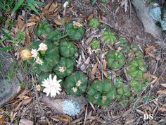 Gymnocalycium buenekeri. Brazilian native. Ball/clumping shape. Few spines.