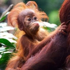 Baby chimp..OMG I LOVE THIS LITTLE GUY!