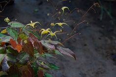 Epimedium rhizomatosum, another Plantaholic Frolic offering. Check the website to see what you might be missing. gardenersconnect.org