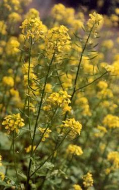 White mustard is found in the wild in many parts of the world. It blooms between February and March. You can eat all parts of the plant- seeds, flowers, and leaves.