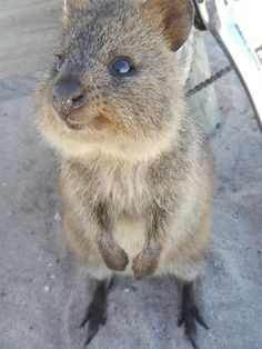 Fun Facts About Cute Animals – Quokka Edition Cute Animal Videos, Cute Animal Pictures, Cute Animals With Funny Captions, Funny Animals, Happy Animals, Cute Baby Animals, Beautiful Creatures, Animals Beautiful, Quokka