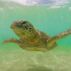 Squirt all grown up! Follow our Snapchat adventures through Hawaii: NakPla Photo by Naked Planet ambassador in Hawaii, ©Stephen