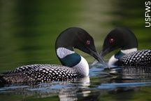 loon paintings | MN State Bird! Common loon photo by US Fish & Wildlife Service