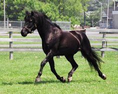 Canadian Horse stallion Pineview Suprise Manhattan