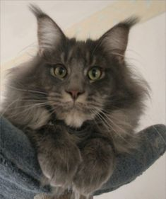 What a magnificent face this big grey kitty has….
