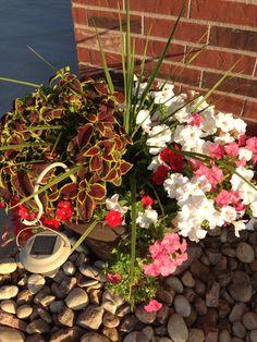 Dracinia, wave petunias & coleus.