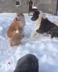 He must have forgotten their anniversary again - animal antics - Lustig Funny Animal Videos, Funny Animal Pictures, Cute Funny Animals, Alabai Dog, Pet Dogs, Doggies, Beautiful Dogs, Animals Beautiful, Animals And Pets