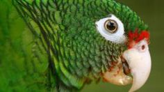 FILE - In this  June 23, 2011, fiel photo, a Puerto Rican parrot is pictured inside a fly cage at El Yunque National Forest protected habitat in Luquillo, Puerto Rico. A group of scientists released at dawn Wednesday Jan. 21, 2015, 15 endangered Puerto Rican parrots, reintroducing them into the wild as part of a conservation program. (AP Photo/Ricardo Arduengo, File)