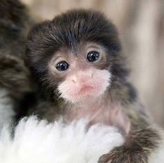 The newest, cutest baby animals from the world's accredited zoos and aquariums. Cute baby animal pictures and videos by date, species, and institution. Primates, Animals And Pets, Funny Animals, Animals Photos, Cute Monkey, Monkey Baby, Cute Little Animals, Tier Fotos, Cute Animal Pictures