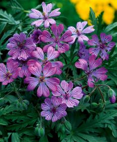 Geranium tuberosum -  Naturalizing in an undisturbed setting...in full to partial sun, well draining soil w/ neutral pH.   Naturalizing  at 9 bulbs per square foot - Z5-9