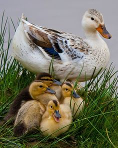 Pretty Silver Appleyard duck and ducklings. Originally, this breed was created as a dual-purpose domestic duck, reared both for meat and for eggs. Pretty Birds, Love Birds, Beautiful Birds, Animals Beautiful, Beautiful Family, Beautiful Soul, Cute Baby Animals, Farm Animals, Animals And Pets