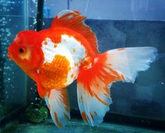Gold fish red white