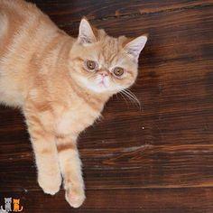 Good Night!  #exoticshorthair #cat #cute #flatface #kitten #meow #pet #mreggs #catlover #exoticsofinstagram #smushface #cutepetclub #sir