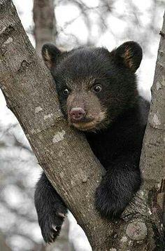 A baby black bear is always exciting to see in the Smokies. We Bear, Bear Cubs, Animals Beautiful, Cute Animals, Odd Animals, Prey Animals, Beautiful Creatures, Teddy Bear Cartoon, Teddy Bears