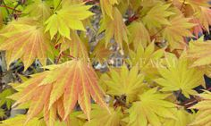 Autumn Moon Japanese Maple Fullmoon. mall tree for small landscapes. New growth is burnt orange to yellow, summer leaves are salmon, orange and chartreuse.