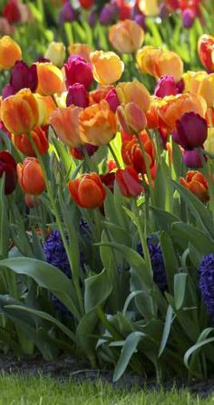 Tulip Triumph Brilliant Mix | BIG Curb Appeal, this exclusive mix has been selected for the most brilliant reds, oranges and yellows to guarantee a spectacular show | Longfield Gardens