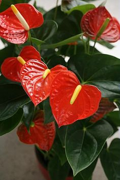 Perennial Flower Gardening - 5 Methods For A Great Backyard Anthurium Plant To Lisa Fernandez This Would Be Great In The Front Yard Around The Trees Exotic Plants, Exotic Flowers, Tropical Flowers, Tropical Plants, Beautiful Flowers, Flowers Perennials, Planting Flowers, Flower Gardening, Plantar