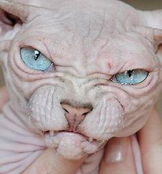 Gollum cats. Why? Seriously.