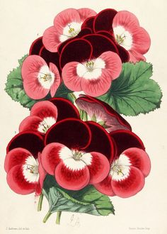 J. Andrews (American, 19th Century) - Botanical print - Color lithograph; Vincent Brooks, Imp., 1857