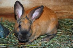10 Best Meat Rabbit Breeds for Homesteads - The Self-Sufficient Living Meat Rabbits Breeds, Rabbit Breeds, Farm Animals, Animals And Pets, Strange Animals, Silver Fox Rabbit, Rabbits For Sale, Rabbit Eating, Raising Rabbits