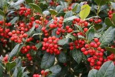 Nellie Stevens Holly Care: Tips On Growing Nellie Stevens Holly Trees - Nellie Stevens is a happy accident between a Chinese holly and an English holly. It has an interesting back story and an even more interesting growth form. Learn more about this plant in the article that follow and decide if you would like one in your garden.