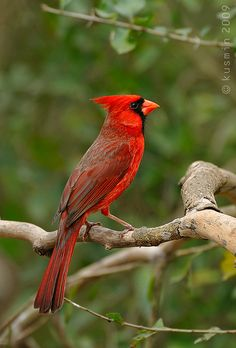 Northern Cardinal - now a regular at my window feeder and a big eater! Pretty Birds, Love Birds, Beautiful Birds, Animals Beautiful, Cute Animals, Exotic Birds, Colorful Birds, Northern Cardinal, State Birds