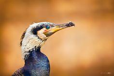 """""""Great Cormorant"""" by Irene Mei, via 500px."""