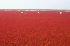 Red Beach. Liahoe River Delta in northeastern China. Panjin, China. Chinese wetland of seepweed that turns red as it matures in September.