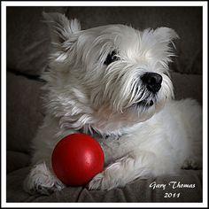 Red Ball White Dog