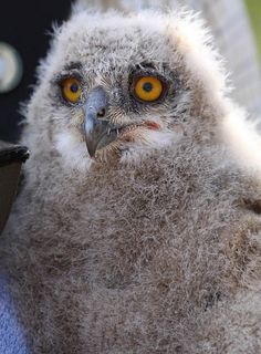 Four week old Russian Eagle Owl chick