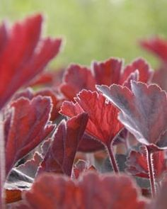 Heuchera Hybride 'Mocha' ® - Purpurglöckchen European Garden, Heuchera, Geraniums, Perennials, Leaves, Mocha, Plants, Gardens, Outdoor