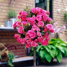 Fragrant and vibrant patio roses! Patio Standard Rose Collection - 4 x Bare Roots