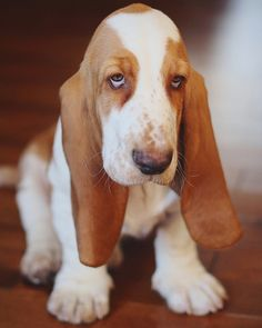 Love basset hounds. Love them. Want another one.