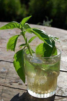 Basilic | Semis, culture et récolte au potager