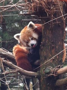 New York Central Park Zoo Red Panda | Central Park Zoo Red Panda- I just want to snuggle with this guy he is ...