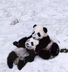 雪で大はしゃぎのパンダ親子04