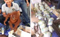 Wildlife Friends Foundation Thailand (WFFT) has reported an incredible rescue of two baby orangutans and dozens of turtles that were recently smuggled from Malaysia. Authorities found the animals alongside other protected wildlife during a routine check on a vehicle in the Thai southern province of Songkhla.